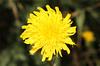Hypochaeris radicata (Rough Cats-ear) - Icicle Creek, WA (Nick Dean1) Tags: macroflowerlovers macro flower wildflower washington iciclecreek canon