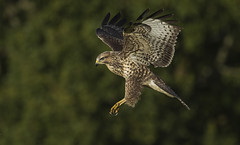 Buzzard - Perfectly evolved (Ann and Chris) Tags: avian amazing awesome bird feathers flying gliding hunting hunt hawk buzzard majestic outdoors predator raptor stunning wildlife
