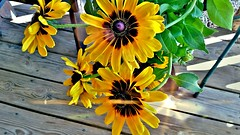 Rudbeckia in Shadow with Shimmer (marianne kuzmen colorart) Tags: rudbeckia flowers flower daisy shadow yellow nature garden orange shadows sun wooden texture blackeyedsusan plant fall color samsungphotoeditior samsungsmg900v pollen wowfactor mariannekuzmen bokeh autumn rust wood slantedlight