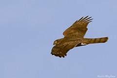 Sparrowhawk-4743(explored) (kevinmayhew62) Tags: sparrowhawk welneywwt accipiternisus