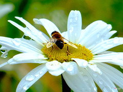 The Last One of this Season [EXPLORED] (caren (Thanks for 2.0 Mio+ views)) Tags: oxeyedaisy leucanthemumvulgare flora pretty insect europe wales 7dwf closeup automne ceredigion cymru