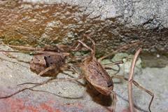 Arachtober 4 (Procrustes2007) Tags: opilione harvestman odiellusspinosus arachnid arachtober nikond50 nikkor50mmais tamron2xteleconverter vivitarextensionrings68mmtotal flash greatcornard suffolk uk britain england gridreftl883407 macro