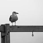 Montauk Gull thumbnail