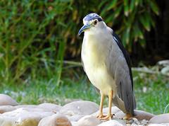 Goraz ou Garça-noturna / Black-crowned Night-heron (Nycticorax nycticorax) (Marina CRibeiro) Tags: portugal lisboa lisbon zoo ave bird goraz garçanoturna blackcrownednightheron ardeideos