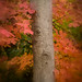 171008-autumn-leaves-tree-trunk.jpg