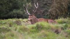 Red Stag Calling during Rut (Hector16) Tags: hind cervuselaphus surrey crownestate wildlife bushey stag redstag rutting antlers deer england bushypark