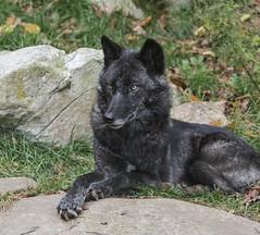 Haliburton Wolf Centre (a56jewell) Tags: a56jewell wolf haliburtonwolfcentre haliburton north oct graywolf
