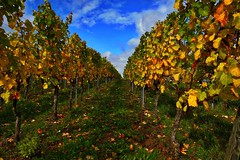 Kitzingen (iagumir) Tags: kitzingen wein trauben mainstockhein herbst