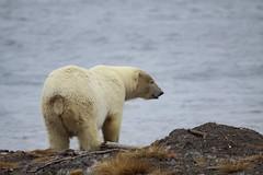 Polar Bear and the Ocean (Dan King Alaskan Photography) Tags: polarbear bear ursusmaritimus kaktovik alaska arcticocean canon50d sigma150600mm