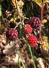 mmmmhmores!! (Soledad_Perez) Tags: vermell rojo frutosdelbosque fruitsdelbosc blackberry moras mores