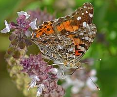 Among the Basil (kendoman26) Tags: butterfly paintedlady basil flower topazdetail topazsoftware nikon niksoftware nikor nikor70210 insect