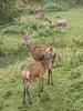Studley Royal (Ian Unwin) Tags: do copy or use national trust studley royal deer doe