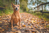 Marita / Autumn, EOS 80D, Sigma 24 1,4 ART, @ f 1,4 (hundephotografie) Tags: autmn dogs marita zwergpinscher canoneos80d sigma2414art indiansummer minipin pets primelens f1 4 autumn