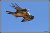 Gypaète 171018-33-RP (paul.vetter) Tags: oiseau ornithologie ornithology faune animal bird gypaètebarbu gypaetusbarbatus bartgeier quebrantahuesos beardedvulture vautour rapace