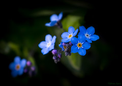 Forget-me-nots :-) (Different Aspects) Tags: smileonsaturday tinytreasuresinflora forgetmenots flowers wildflower blue