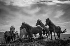 wild horses - DSC_2138 (Christian Taliani) Tags: loh horse photography cavalli animal nature christian taliani bn black withe blackwith iceland islanda epic