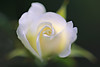 Miniature White Rose (lfeng1014) Tags: macromondays spiral miniaturerose whiterose rose macro macrophotography canon5dmarkiii 100mmf28lmacroisusm dof depthoffield closeup bokeh pure light lifeng hmm