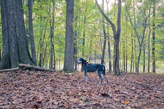 42/52 | A welcome change of seasons (huckleberryblue) Tags: 52weeksfordogs week42 autumn woods hiking dog coonhound bluetickcoonhound gracie