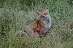 R17_0709 (ronald groenendijk) Tags: cronaldgroenendijk 2017 rgflickrrg vulpesvulpes animal fox groenendijk holland nature natuur natuurfotografie netherlands outdoor rodevos ronaldgroenendijk vos wildlife