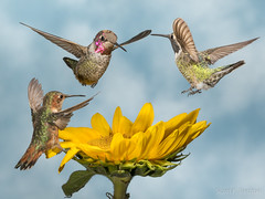 Anna's and Allen's Hummingbirds (Los Angeles - October 2017) (bechtelsf) Tags: hummingbird annas allens sunflower bird animal wildlife nature olympus 300mmf4pro california ucla
