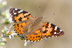 Last of the Ladies (tresed47) Tags: 2017 201710oct 20171018extonparkmisc butterflies canon7d chestercounty content fall folder insects macro october paintedlady pennsylvania peterscamera petersphotos places season takenby technical us ngc