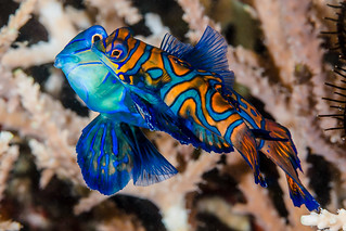 Mandarinfish, spawning pair - Synchiropus splendidus