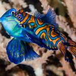 Mandarinfish, spawning pair - Synchiropus splendidus thumbnail