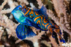 Mandarinfish, spawning pair - Synchiropus splendidus (zsispeo) Tags: actinopterygii callionymidae osteichthyens perciformes synchiropus teleostei splendidus scuba diving tropical reef fish underwater macro macrophotography sea ocean holidays vacation summer beach relaxation coral fauna wildlife wild science taxonomy travel sustainable life aquatic beautiful nature animal biology id identification souvenir living favorite natural rare saltwater turquoise blue conservancy quality escapade tourism wet outdoors mandarinfish bohol philippines
