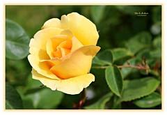 pretty lady! (MEA Images) Tags: rose roses bud flowers gardens blooms flora nature pointdefiancepark tacoma washington canon picmonkey