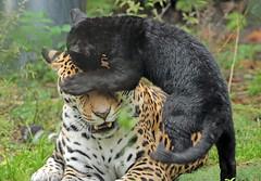 jaguar Rica and cub artis BB2A9821 (j.a.kok) Tags: jaguar jaguarcub zwartejaguar blackjaguar welp jaguarwelp artis kat cat mammal zoogdier animal southamerica zuidamerika predator pantheraonca