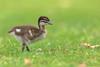 Maned Duck Chick. (Athena Georgiou) Tags: manedduck chick babyduck australia