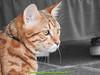 gio_k2_2017_08_365 (giordano torretta alias giokappadue) Tags: abetone bengala gastone gatto kat