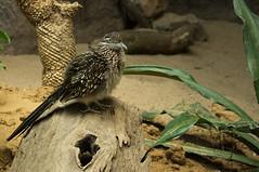 Renkoekoek - Roadrunner (Den Batter) Tags: nikon d7200 blijdorp zoo dierentuin renkoekoek roadrunner geococcyx