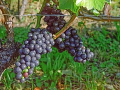 early red (Riex) Tags: nature grappe raisins grapes vine cep cépage gamay red rouge baies vigne fruit vineyard lavaux vaud switzerland suisse film cinestill iso50 alpa 10d reflex kernmacroswitar50mmf18