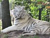 Wendy.nkkl - Zooparc Overloon (wendy.nkkl.) Tags: tiger zooparcoverloon whitetiger