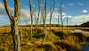 Drowned Trees, Scarborough Marsh, Maine (jtr27) Tags: dscf3563xl jtr27 fuji fujifilm fujinon xtrans xt20 samyang bower rokinon walimex 12mm f20 f2 ultrawide wideangle scarborough marsh maine newengland manualfocus landscape wetland