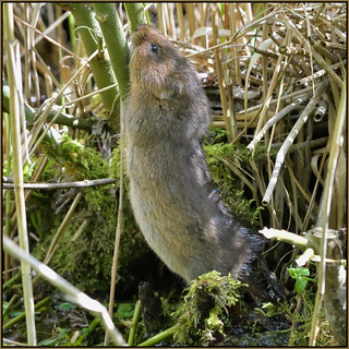 Water Vole (image 3 of 3)