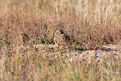 Sleepy Burrowing Owl