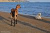 Kalamaki beach (Rolando CRINITI) Tags: capre cani animalidomestici spiaggia kalamakibeach zante grecia natura mare