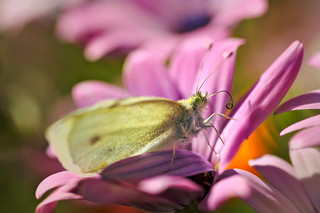 Cabbage butterfly on the osteospermum.