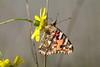 2017_10_03_Schmetterling_6_F_60_IGP8377 (Manfred T.) Tags: schmetterling insekt insekten makro macro distelfalter