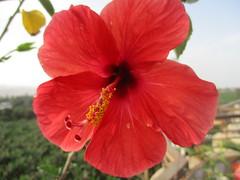 Blooming (konde) Tags: flowers kiinanruusu luxor loma egypt nature kukkia
