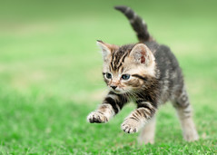 'Chrissie on the Run' (Jonathan Casey) Tags: kitten tabby rescue cat chums catchums norfolk nikon d810 105mm f28 vr
