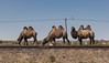 IMG_3148 Baikonur (Ninara) Tags: baikonur kazakhstan kyzylorda казакстан кызылорда bactriancamel camel