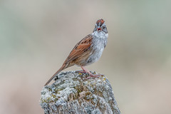 Swamp sparrow (Joe Branco) Tags: nikond500 nikon lightroomcc2017 photoshopcc2018 joebrancophotography swampsparrow branco joe birds wildlife green