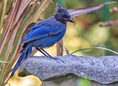 At Ease (robinlamb1) Tags: outdoor nature animal bird jay stellarsjay cyanocittastelleri birdbath garden backyard aldergrove