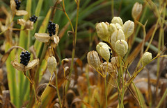 Leopardenblume, Fruchtkapseln / leopard lily seed capsules (Belamcanda chinensis) (HEN-Magonza) Tags: herbst autumn botanischergartenmainz mainzbotanicalgardens rheinlandpfalz rhineland palatinate deutschland germany