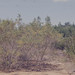 Suaeda monoica. 6 foot high (seablite) and golden swamp fern. Acrostichum. Tanga