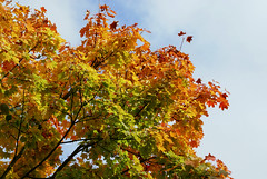 Ahorn / maple (acer) (HEN-Magonza) Tags: botanischergartenmainz mainzbotanicalgardens rheinlandpfalz rhinelandpalatinate deutschalnd germany ahorn maple acer herbst autumn