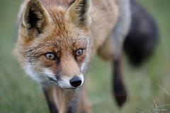 Vos - Fox - Vulpes vulpes  -2831 (Theo Locher) Tags: vos fox fuchs renard vulpesvulpes zoogdieren mammals säugetiere mammifères netherlands nederland copyrighttheolocher